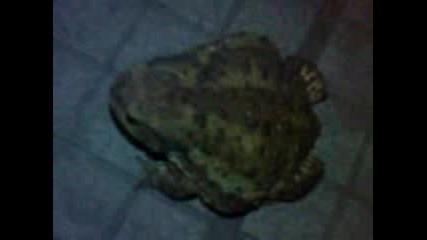 Голяма жаба из Русе