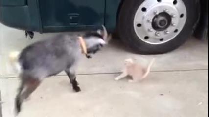 """""""гърмящо"""" коте срещу коза ."""