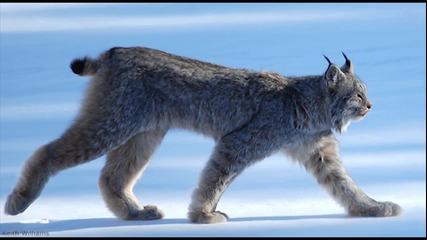 Канадски рис - удивителни животински видове
