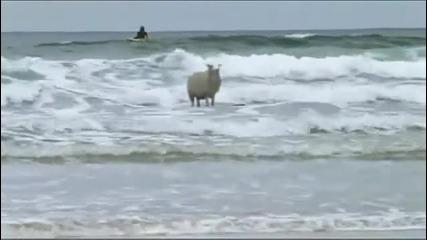 Смях* Овца кара сърф