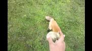 Лисица се мисли за куче !