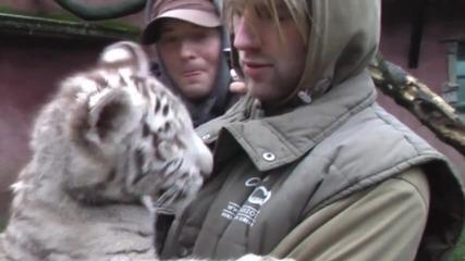 Много Сладки - Тигърчета-албиносчета