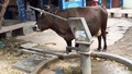 Умна крава пие вода от ръчна помпа