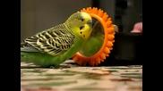 Целувки от говорящия папагал - Busy Buddy
