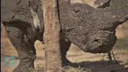 Рейнджъри охраняват трите оцелели бели носорога в Судан