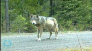 Conservationists Decry Accidental Killing of Protected Wolf in Colorado