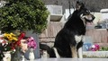 Кученце пази гроба на стопанина си 6 години ;(