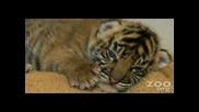 Бебе Тигър Заспива..много Е Сладурско:))