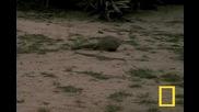 Кобра срещу мангуст