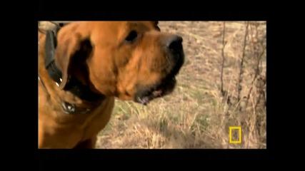 Как атакуват различните породи кучета!!