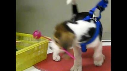 Малко кученце бигъл си играе