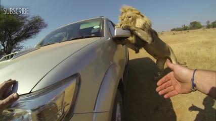 Лъвове нападат кола пълна с хора!