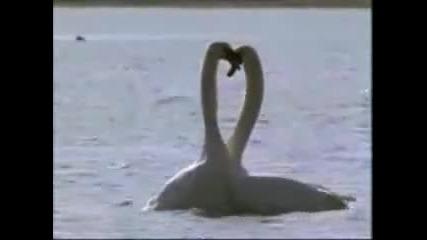 Лебедова любов.