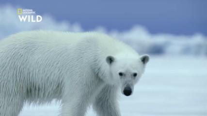 Полярна мечка