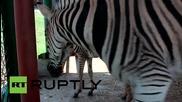 Две зебрички в Красноярск се показват за първи път пред посетители