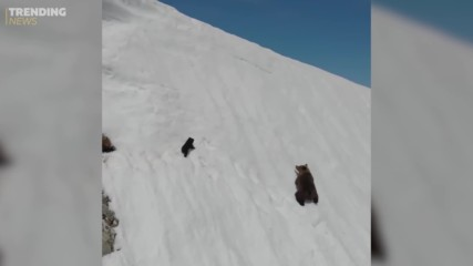 Трогателно видео! Смело мече катери планина с майка си
