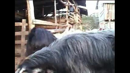 Семейна ферма за кози