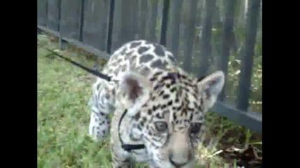 Сладко бебе ягуар