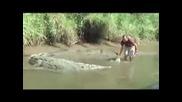 Човек целува крокодил за да му пусне ръката