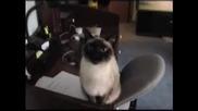 Шумно прозяващи се котки