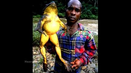 Рекорди: - Странна жаба - Голиат !