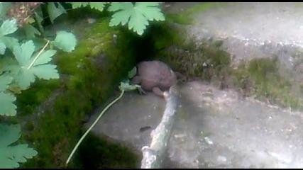 жаба побойник