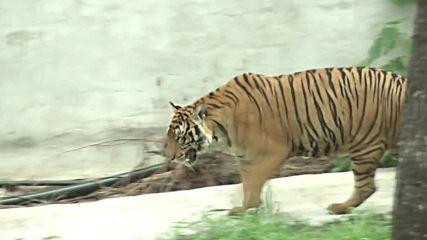 Преместиха тигри от будистки храм заради трафик