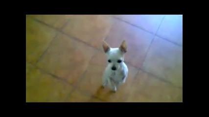 сладко кученце танцува фламенко !!!