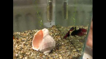 Бойна рибка бета