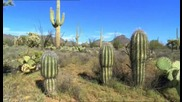 Кактуса Saguaro