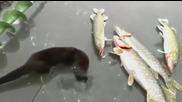 Малкият крадец на риба щука въобще не му пука, Смях