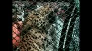 Ядосан леопард в клетка