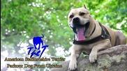 Питбула Tret - Super Dog