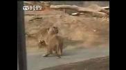 Лъв Срещу Тигър