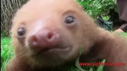 Тези бебета ленивци ще завладеят сърцата ви