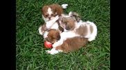 Кучета дребосъци