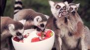 Лемури си хапват ягоди ..