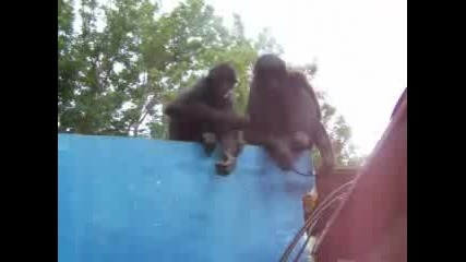 Survivor Островите На Перлите3 Маймуни