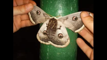 Красива И Голяма Пеперуда