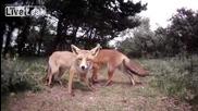 Хранене на лисици