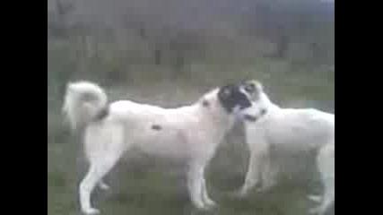 каракачянсни кучета