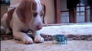 Куче полудява с играчка :)