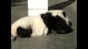 Изплашено Бебе Панда - Голямо Сладурче