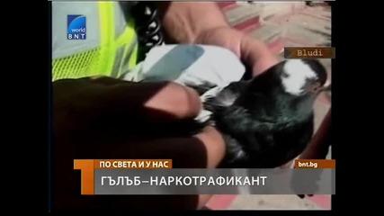 Заловиха гълъб - наркотрафикант