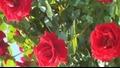 С аромат на рози