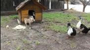 Кученце си пази храната от нагли патици
