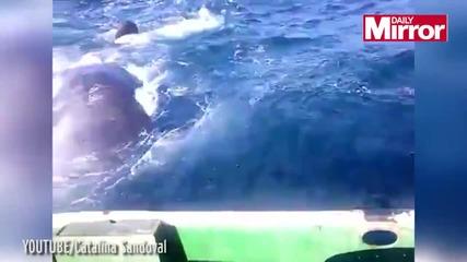 Инфарктен момент, китове подмятат рибарска лодка
