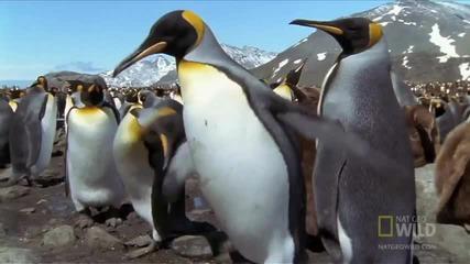 Родителите на пингвините - най-странните в света