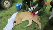 Ветеринари спасиха най-нещастната лъвица на света (видео)