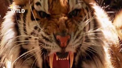 Бенгалският тигър